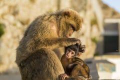 Ένας πίθηκος μωρών berber με τη μητέρα του στο Γιβραλτάρ Στοκ εικόνες με δικαίωμα ελεύθερης χρήσης