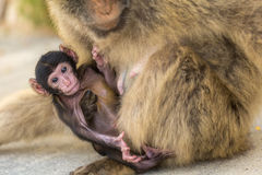 Ένας πίθηκος μωρών berber με τη μητέρα του στο Γιβραλτάρ Στοκ Εικόνες