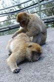 Ένας πίθηκος που ένας δεύτερος πίθηκος Στοκ φωτογραφία με δικαίωμα ελεύθερης χρήσης