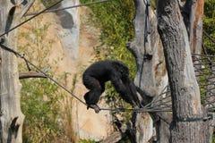 Ένας πίθηκος που αναρριχείται στους κλάδους έξω στο ζωολογικό κήπο στη Γερμανία στοκ φωτογραφία με δικαίωμα ελεύθερης χρήσης