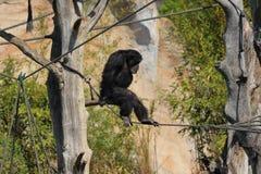 Ένας πίθηκος που αναρριχείται στους κλάδους έξω στο ζωολογικό κήπο στη Γερμανία στοκ εικόνες