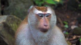 Ένας πίθηκος σε μια τροπική ζούγκλα, που κάθεται στις πέτρες εξετάζει τη κάμερα, πορτρέτο ενός πιθήκου, συγκινήσεις απόθεμα βίντεο