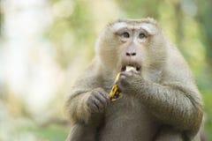 Ένας πίθηκος στην Ταϊλάνδη που τρώει μια μπανάνα Στοκ Εικόνα