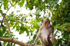 Ένας πίθηκος στο δέντρο Στοκ εικόνα με δικαίωμα ελεύθερης χρήσης