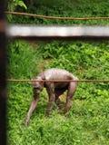 Ένας πίθηκος Στοκ Εικόνες