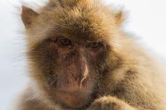 Ένας πίθηκος berber στο Γιβραλτάρ Στοκ Εικόνες