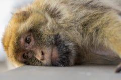 Ένας πίθηκος berber στο Γιβραλτάρ Στοκ εικόνες με δικαίωμα ελεύθερης χρήσης