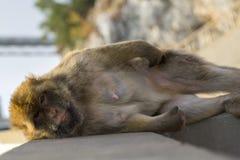 Ένας πίθηκος berber στο Γιβραλτάρ Στοκ φωτογραφία με δικαίωμα ελεύθερης χρήσης