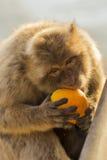Ένας πίθηκος berber Στοκ Εικόνα