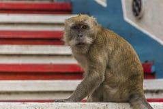 Ένας πίθηκος macaque Στοκ Εικόνες