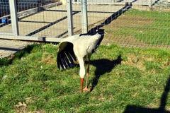 Ένας πελαργός στο κλουβί στο ΖΩΟΛΟΓΙΚΟ ΚΉΠΟ Άγριο πουλί στην αιχμαλωσία στοκ φωτογραφίες