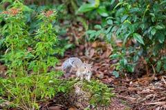 Ένας περίεργος ανατολικός γκρίζος σκίουρος Στοκ Φωτογραφίες