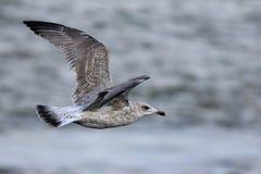 Ένας πετώντας γλάρος Στοκ Εικόνες