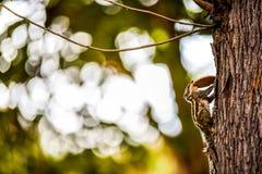 Ένας πλήρως αυξημένος σκίουρος που αναρριχείται και που περπατά επάνω σε ένα δέντρο κρατώντας & τρώγοντας ένα μπισκότο στο στόμα  στοκ φωτογραφία με δικαίωμα ελεύθερης χρήσης
