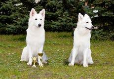 Ένας ποιμένας που κερδίζεται λευκός, άλλος που χάνεται Στοκ Φωτογραφία