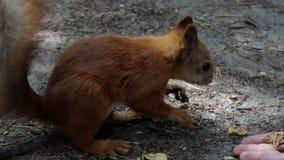 Ένας πορτοκαλής σκίουρος τρώει τα ραγισμένα καρύδια από παραδίδει ένα δάσος στην slo-Mo φιλμ μικρού μήκους