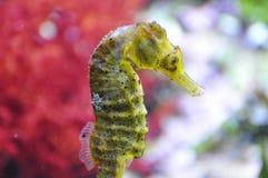 Seahorse - γένος ιππόκαμπος Στοκ εικόνα με δικαίωμα ελεύθερης χρήσης