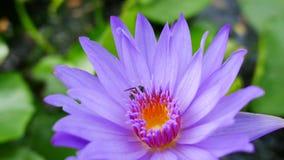 Ένας πορφυροί λωτός και μια μέλισσα φιλμ μικρού μήκους