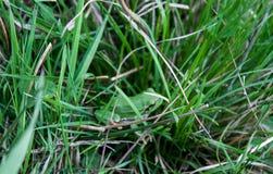 Ένας πράσινος βάτραχος έκρυψε μεταξύ της juicy πράσινης χλόης Στοκ εικόνα με δικαίωμα ελεύθερης χρήσης
