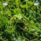 Ένας πράσινος βάτραχος είναι σε μια χλόη Στοκ Εικόνα
