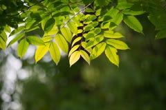 Ένας πράσινος και ένας κίτρινος βγάζει φύλλα λάμπει από το φως ήλιων πρωινού Στοκ φωτογραφία με δικαίωμα ελεύθερης χρήσης