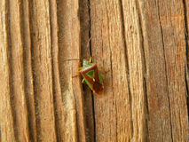 Ένας πράσινος και ένα κόκκινο λίγο ζωύφιο που αναρριχείται στον καφετή ξύλινο τοίχο Στοκ φωτογραφίες με δικαίωμα ελεύθερης χρήσης