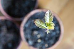 Ένας πράσινος νεαρός βλαστός της ανάπτυξης αβοκάντο έξω από το χώμα στοκ εικόνα