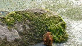 Ένας πραγματικός ευρωπαϊκός ή τουρκικός αστακός σέρνεται αργά εμπρός Άγρια ζωή σε μια λίμνη ή έναν ποταμό Άλγη και πράσινη λάσπη απόθεμα βίντεο