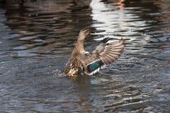 Ένας πρασινολαίμης χτυπά τα φτερά της σε μια λίμνη Στοκ εικόνα με δικαίωμα ελεύθερης χρήσης