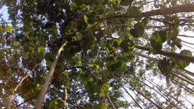 Ένας πυροβολισμός που εξετάζει επάνω τα δέντρα αργά φιλμ μικρού μήκους