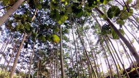 Ένας πυροβολισμός που εξετάζει επάνω τα δέντρα αργά απόθεμα βίντεο