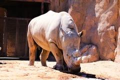 Ένας ρινόκερος στο ζωολογικό κήπο του Αλμπικέρκη στοκ εικόνα με δικαίωμα ελεύθερης χρήσης