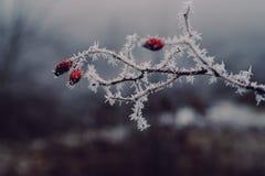 Ένας ροδαλός θάμνος το χειμώνα στοκ εικόνες