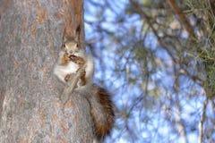 Ένας σκίουρος, γκρίζος, κάθεται σε ένα δέντρο και τρώει ένα καρύδι σε ένα πάρκο στη Σιβηρία στοκ φωτογραφία με δικαίωμα ελεύθερης χρήσης