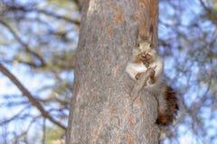 Ένας σκίουρος, γκρίζος, κάθεται σε ένα δέντρο και τρώει ένα καρύδι σε ένα πάρκο στη Σιβηρία στοκ φωτογραφία