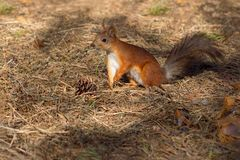 Ένας σκίουρος, πορτοκάλι με γκρίζα specks, τρέχει μέσω του δάσους άνοιξη στη Σιβηρία στοκ εικόνες