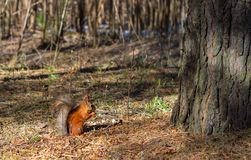 Ένας σκίουρος, πορτοκάλι με γκρίζα specks, τρέχει μέσω του δάσους άνοιξη στη Σιβηρία στοκ φωτογραφίες