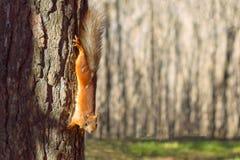 Ένας σκίουρος, πορτοκάλι με γκρίζα specks, τρέχει μέσω του δάσους άνοιξη στη Σιβηρία στοκ εικόνα