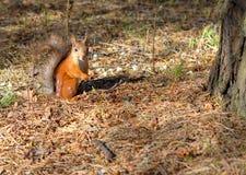 Ένας σκίουρος, πορτοκάλι με γκρίζα specks, τρέχει μέσω του δάσους άνοιξη στη Σιβηρία στοκ φωτογραφίες με δικαίωμα ελεύθερης χρήσης