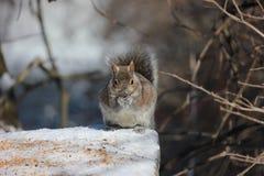 Ένας σκίουρος που απολαμβάνει την τροφή πουλιών Στοκ εικόνα με δικαίωμα ελεύθερης χρήσης