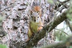 Ένας σκίουρος σε έναν κομψό κλάδο δέντρων που εξετάζει άμεσα τη κάμερα στοκ φωτογραφία με δικαίωμα ελεύθερης χρήσης