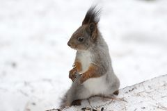 Ένας σκίουρος σε ένα παλτό χειμερινών γκρίζο γουνών, υπόβαθρο του χιονιού Στοκ φωτογραφία με δικαίωμα ελεύθερης χρήσης