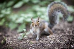 Ένας σκίουρος στον κήπο Στοκ Φωτογραφία