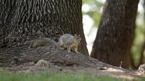 Ένας σκίουρος στο πάρκο απόθεμα βίντεο