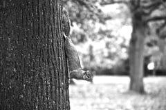 Ένας σκίουρος στο πάρκο Στοκ φωτογραφίες με δικαίωμα ελεύθερης χρήσης