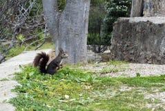 Ένας σκοτεινός καφετής γούνινος σκίουρος κάθεται τα οπίσθια πόδια κοντά σε ένα μεγάλο δέντρο στο πάρκο στοκ εικόνες