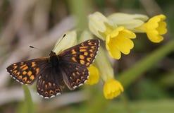 Ένας σπάνιος δούκας Burgundy του lucina Hamearis πεταλούδων εσκαρφάλωσε σε ένα λουλούδι cowslip Στοκ Εικόνες