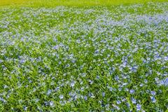 Ένας σπαρμένος τομέας της ανάπτυξης των μικρών πορφυρών λουλουδιών στοκ εικόνες με δικαίωμα ελεύθερης χρήσης
