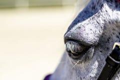 Ένας στενός επάνω πυροβολισμός του ματιού ενός άσπρου αλόγου στοκ εικόνα