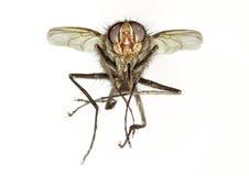 Ένας στενός επάνω πυροβολισμός μιας μύγας αλόγων Στοκ Εικόνα